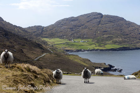 Rush Hour in Beara
